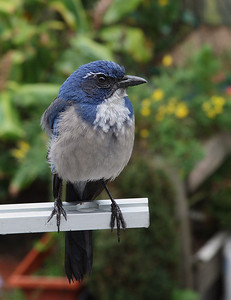 Western Scrub Jay / taken with the Canon XTi + 17-85mm IS lens