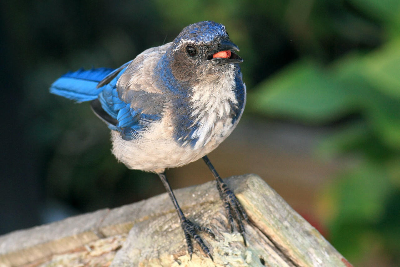 Juvy Western Scrub Jay (Lady J's sibling's)