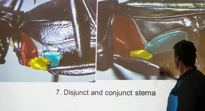 Kip show us how to distinguish disjunct and conjunct sterna around coxa I.  An important couplet in the Carabid key.