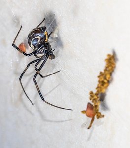 Male widow in its web, seen on a night foray.