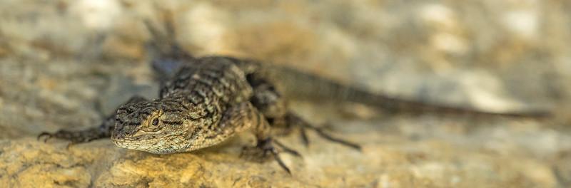 Sagebrush Lizard (Scleporus graciousus) ?