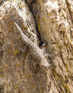 Probably a Western Fence Lizard (Sceloporus occidentalis)