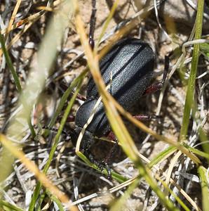 Some sort of Darkling Beetle (tenebrionid), I think.