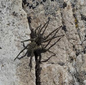 A Wolf Spider (lycosid)