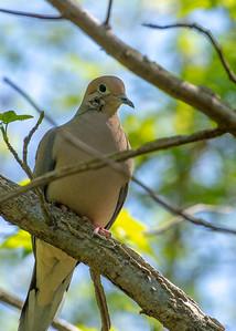 Mourning Dove - injured