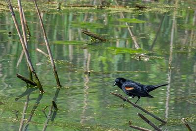 Red-winged Blackbird, male