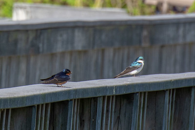 Barn Swallow and Tree Swallow