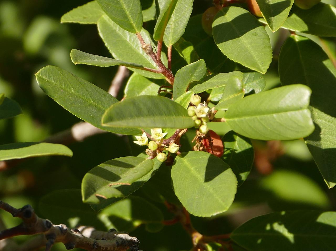 coffeeberry_P1030058