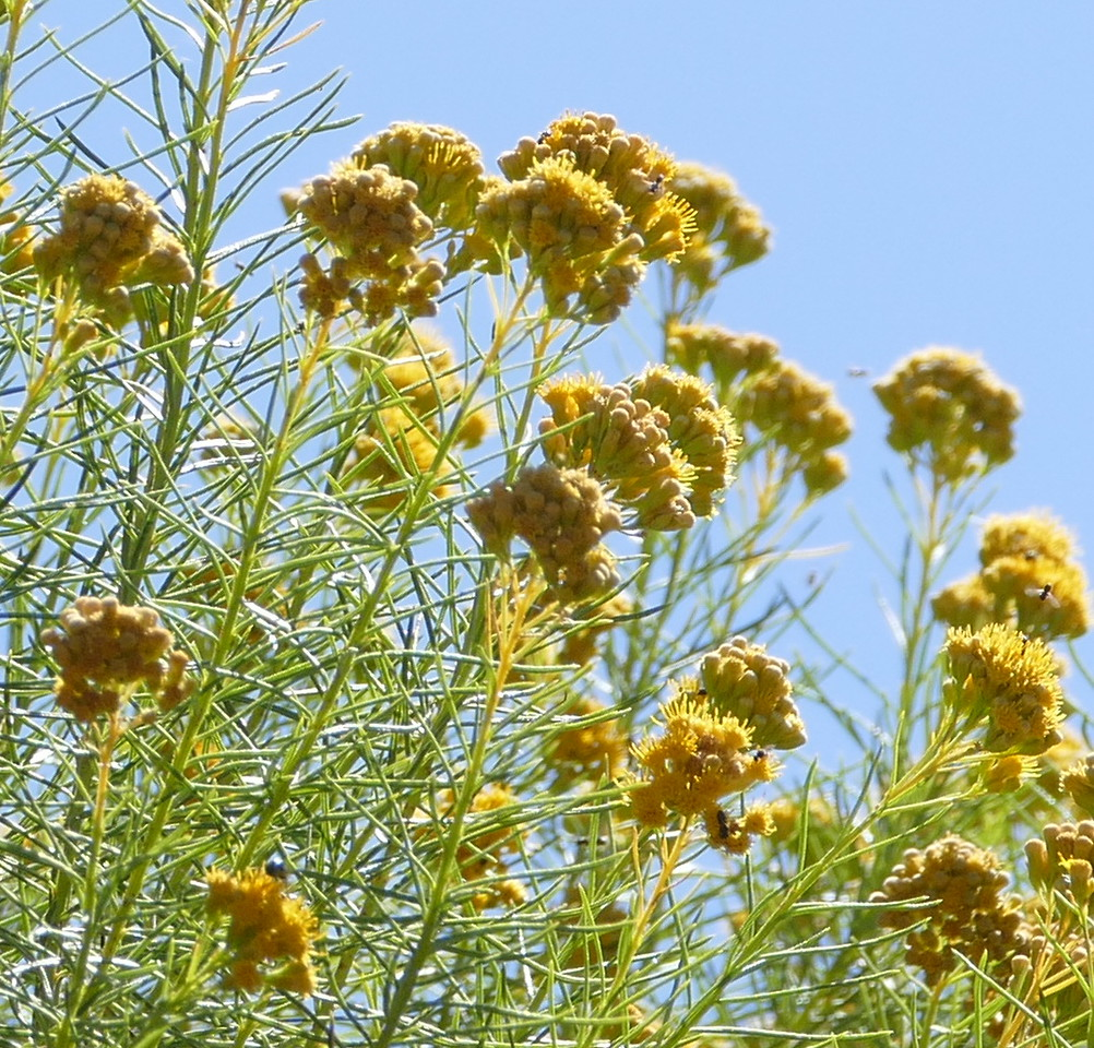 golden fleece_Ericameria arborescens_closeup_P1030069