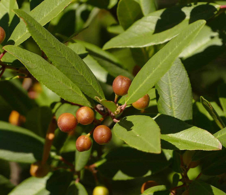 coffeeberry_P1030052