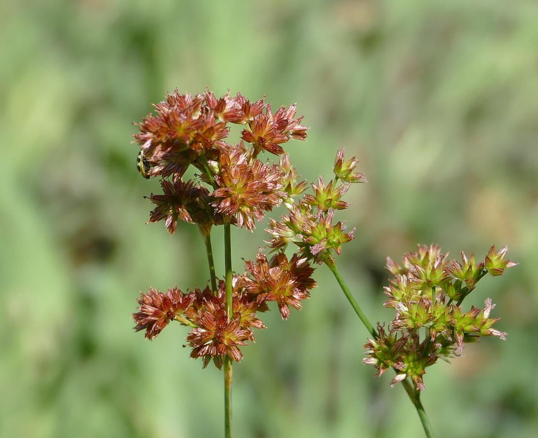 More juncus flowers.