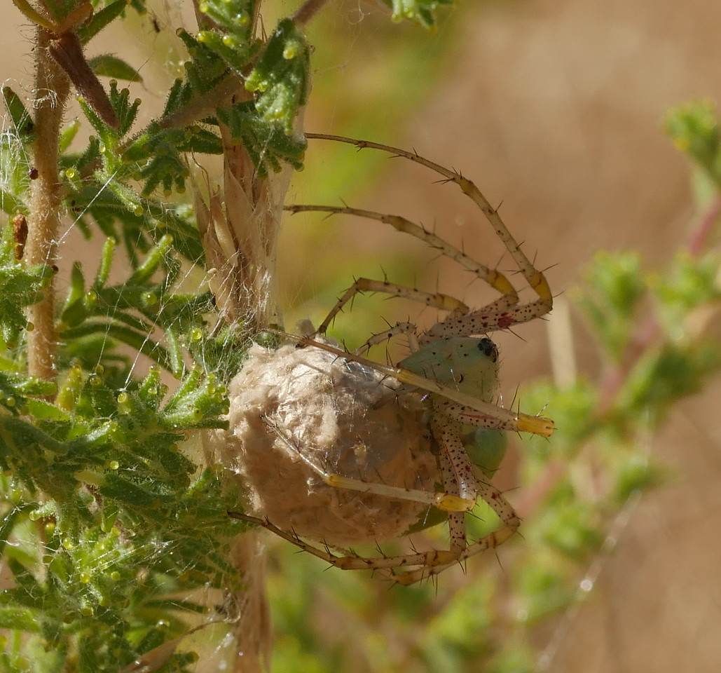 This spider was standing guard over the egg sac.  No baby spiders outside yet.