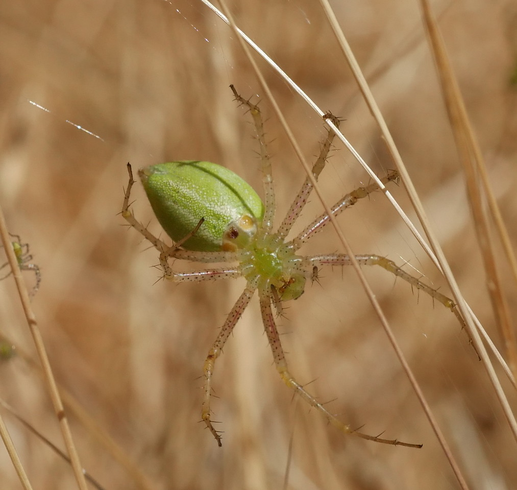 On July 7, we found a single green lynx spider in a relatively dry location.  John spotted a number of spiders and egg sacs a few days ago near a spring so we went back to take a look.  Note the baby spider  to the left of the adult.