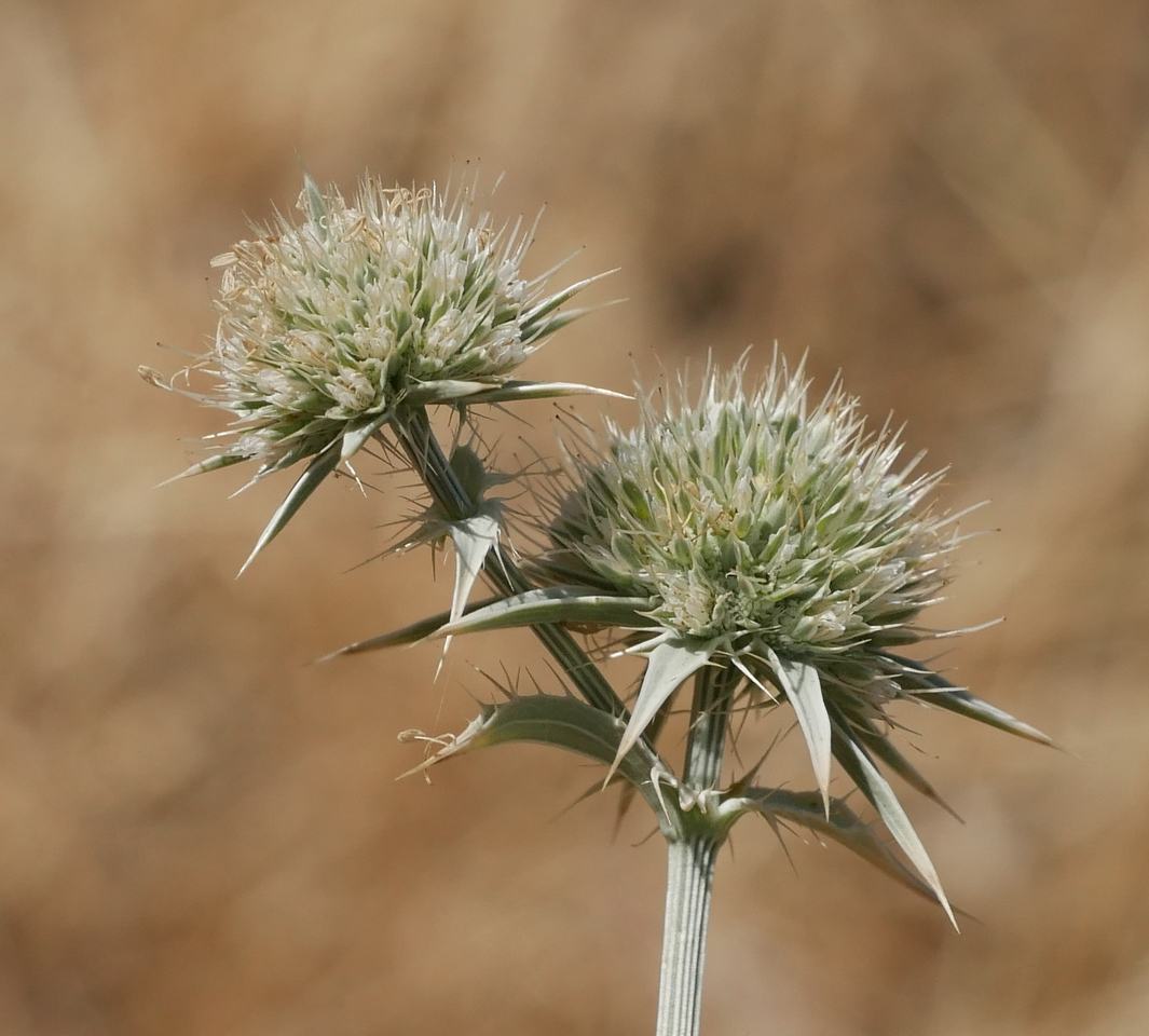 The thistles that we saw months ago have lost many leaves and the flowers appear to be declining.