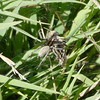 I don't think this is a green lynx spider but perhaps a wolf spider.