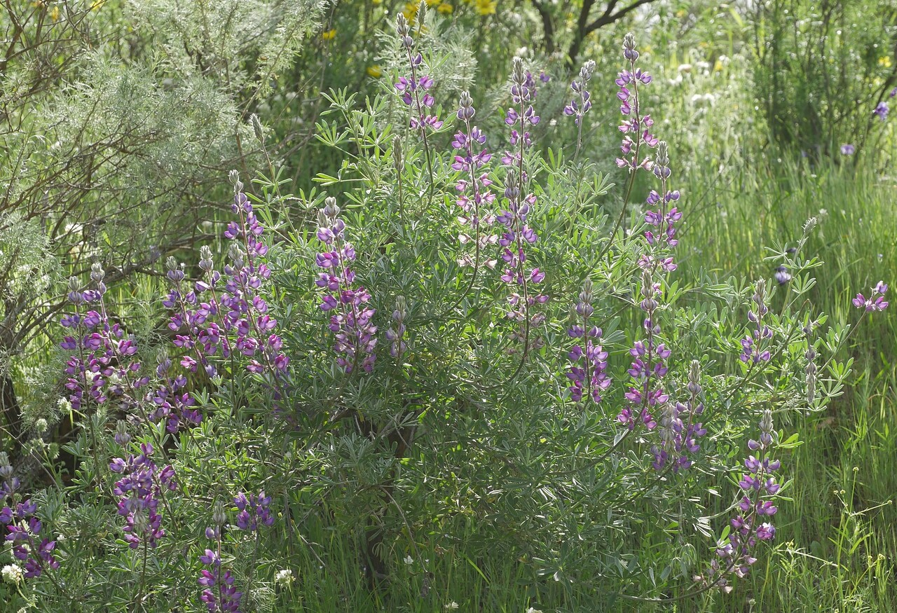bush lupine_P1040406