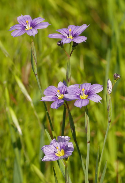 We saw blue eyed grass ( Sisyrinchium bellum) in sunny and partly shaded locations along our route.