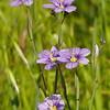 blue eyed grass_P1050288
