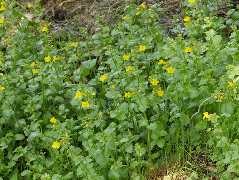 These seep monkeyflowers love water.  We found a number growing at a spring.