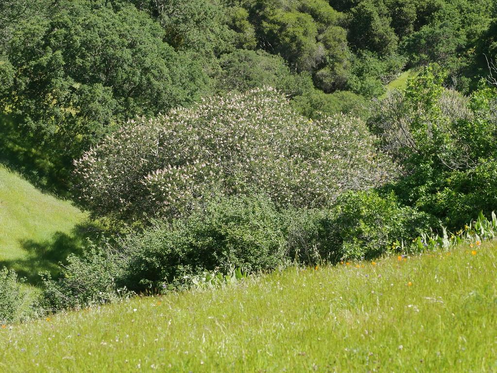 buckeye tree_P1050131