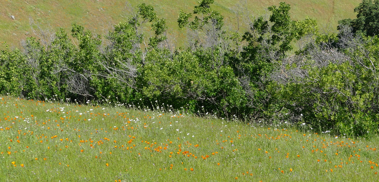 field of poppies and yarrow_P1010819