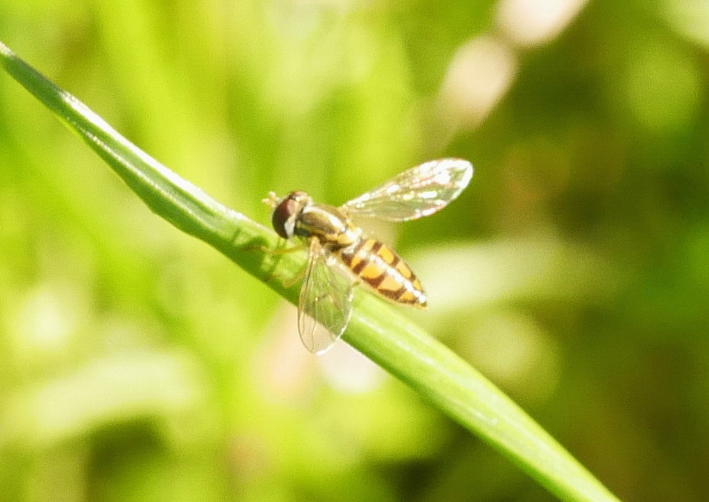 hoverfly_edited_P1050281