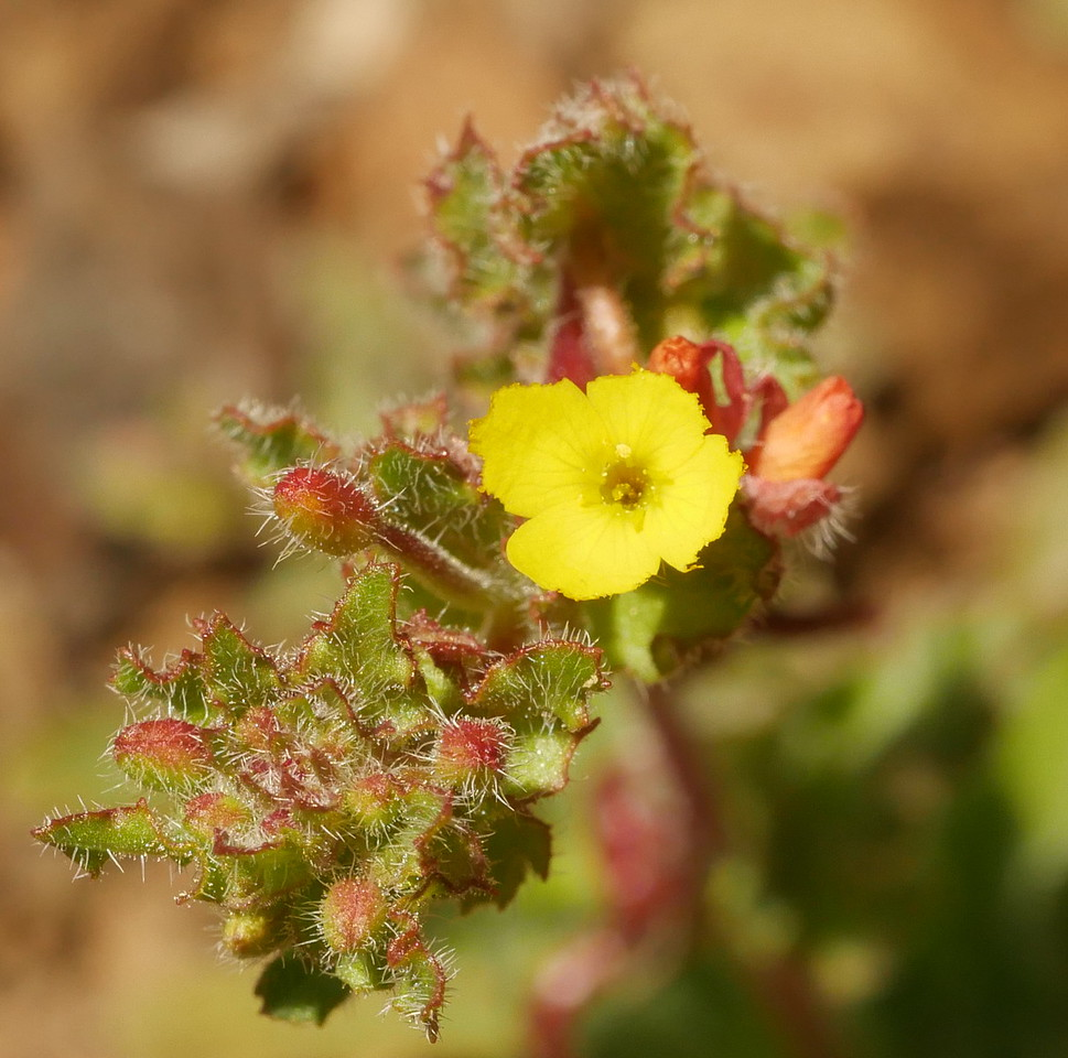 This small plant was growing on bare ground in and beside the ranch road.  spenser primrose (Camissoniopsis micrantha).