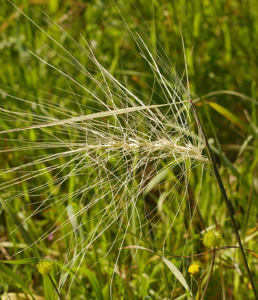giant squirreltail grass_elymus sp _P1050291