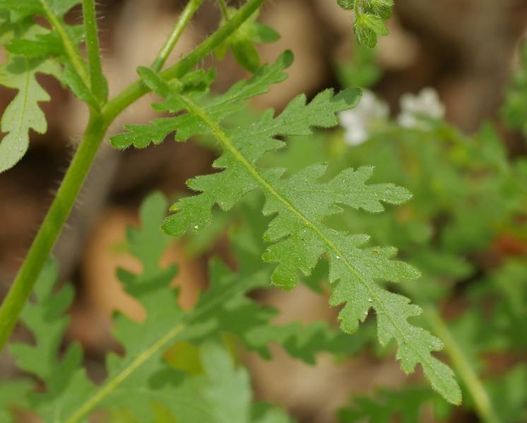 common or spotted eucrypta_Eucrypta chrysanthemifolia var  chrysanthemifolia__leaf_P1050549