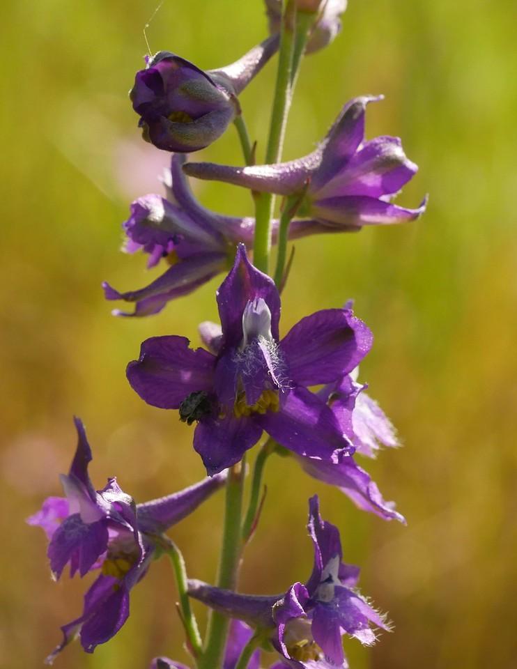 delphinium_purple_delphinium hesperium ssp  hesperium_P1050613