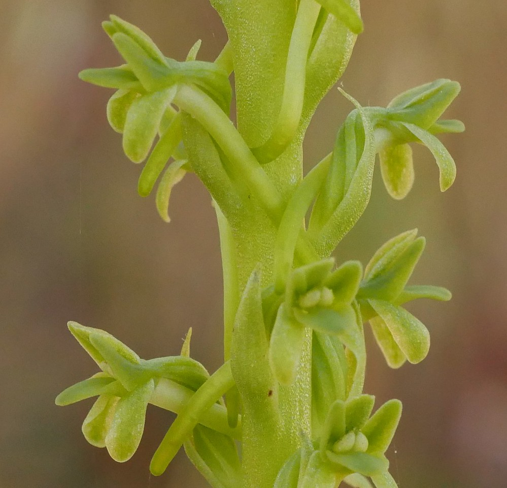 Michael's rein orchid (Piperia michaelii) - closeup of the flowers.