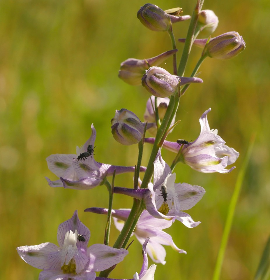 delphinium_pale_delphinium hesperium ssp  palescens_P1050611