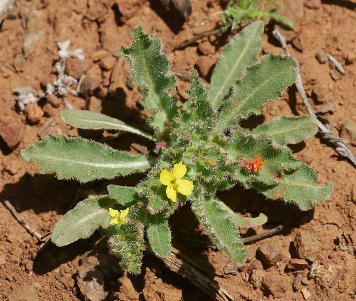 spenser primrose_Camissoniopsis micrantha_P1050537
