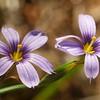 blue eyed grass_P1050521