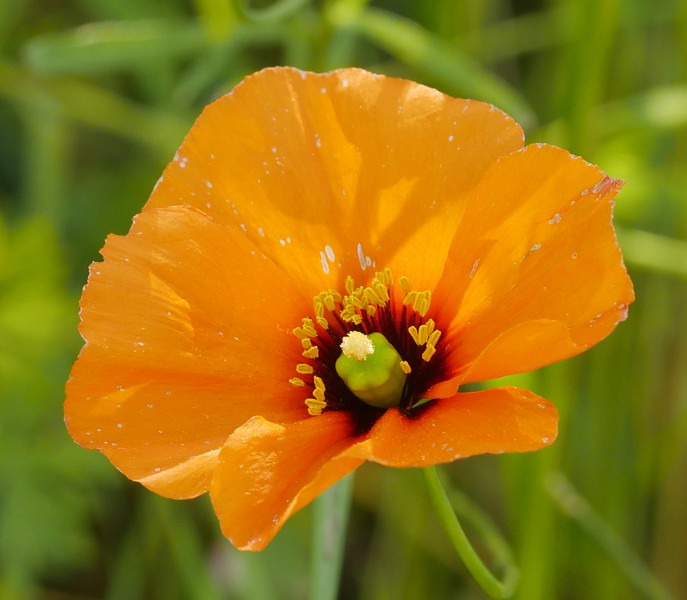wind poppy_Papaver Heterophyllum_P1050589
