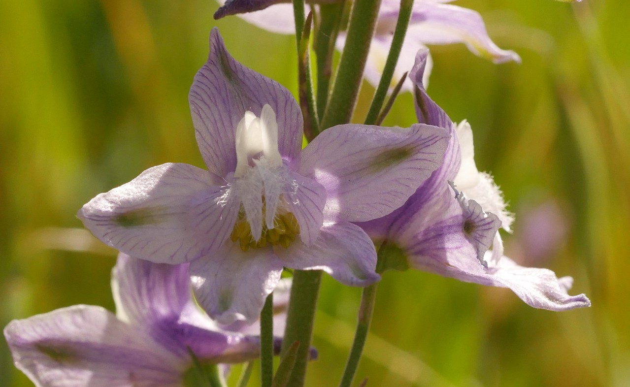 delphinium_pale_delphinium hesperium ssp  palescens_P1050618