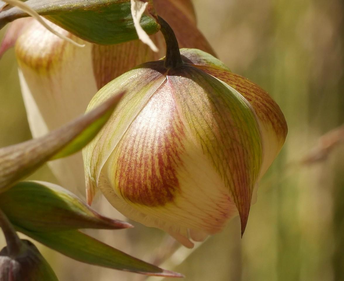 white globe lily_calochortus albus_closer_P1050579