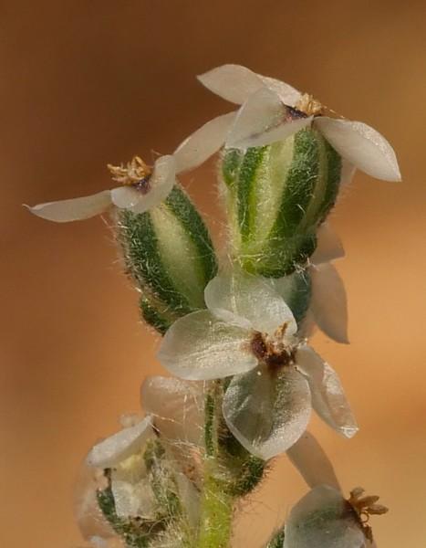 California plantain_Plantago erecta_closer_P1050526