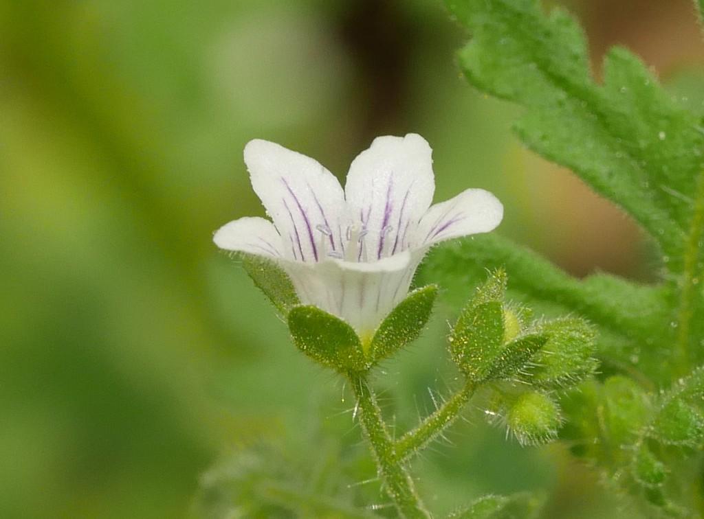 common or spotted eucrypta_Eucrypta chrysanthemifolia var  chrysanthemifolia_P1050550