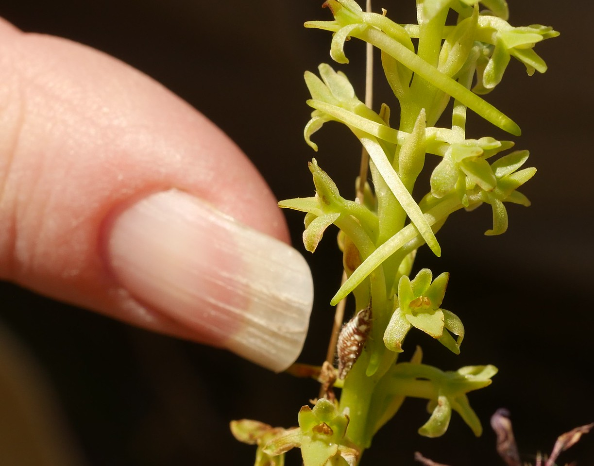 rein orchid_with insect (and finger)_P1050482