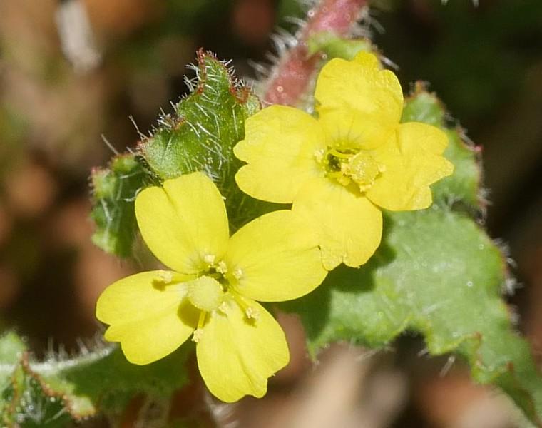 spenser primrose_Camissoniopsis micrantha_P1050538