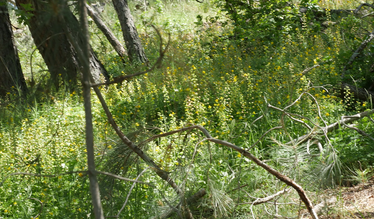 Before our visit, John spotted some interesting plants along the outflow from a spring.  We all thought that it was columbine but where were the flowers?  Plenty of seep monkeyflowers though.