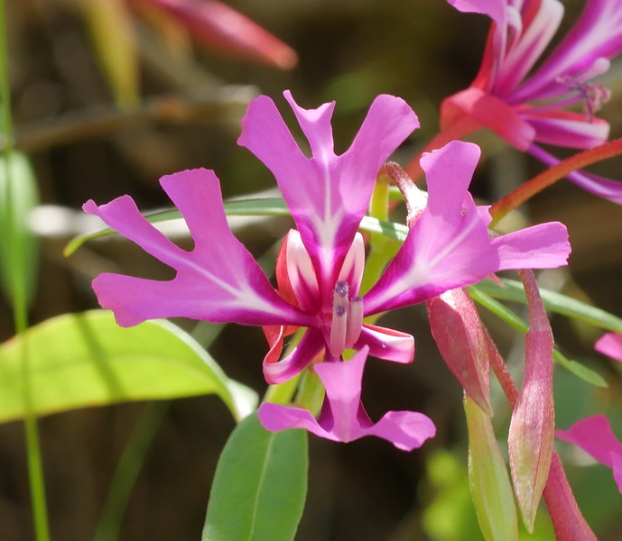 John says these are his favorite clarkia.  So far, we've found four clarkia species on his ranch land.