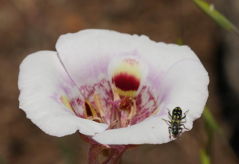 The clerid beetle is like a broach on a dress.