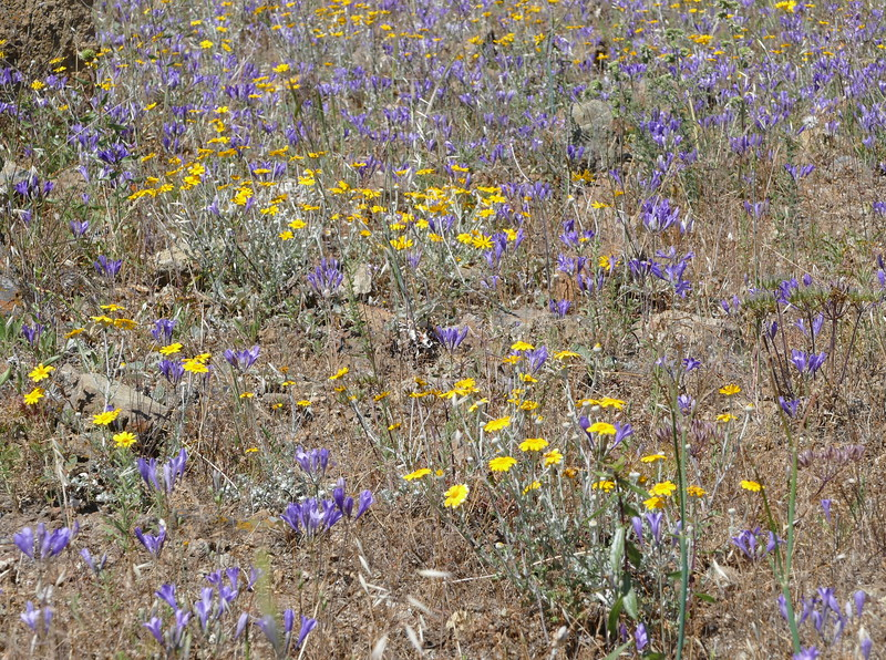 A closer view with Ithuriel's spears and wooly sunflowers.  Buckwheats and phacelia are also in the photo.