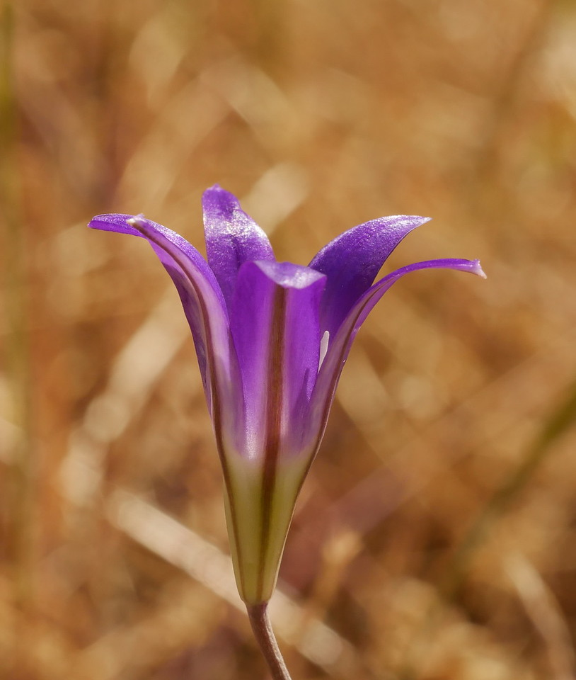 We had been seeing large numbers of Ithureil's spears and it was easy to dismiss another blue-purple flower as more of the same.  However, harvest brodiaea had started blooming.