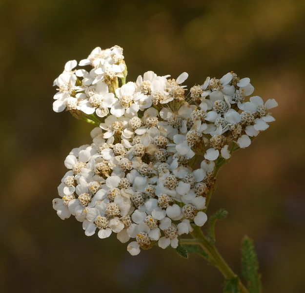 Yarrow was present in a number of places and still in bloom.
