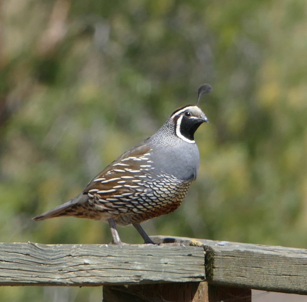 Back at John's house at the end of the trip, this quail was checking us out.  Plenty of wildlife around his headquarters.