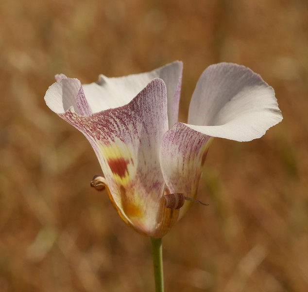 Mariposa lilies have so many things going for them.  Color, details  and shape.