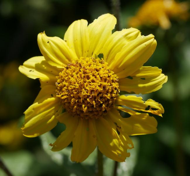 California sunflower_Helianthus californicus_P1050872